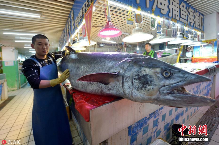 """青岛渔民捕获283斤重2.5米长""""巨型""""大鲅鱼"""