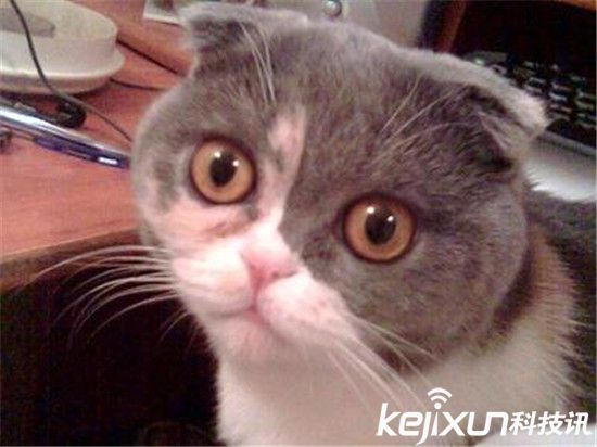 这种可爱的猫最大的特征是它向前耷拉的耳朵了.