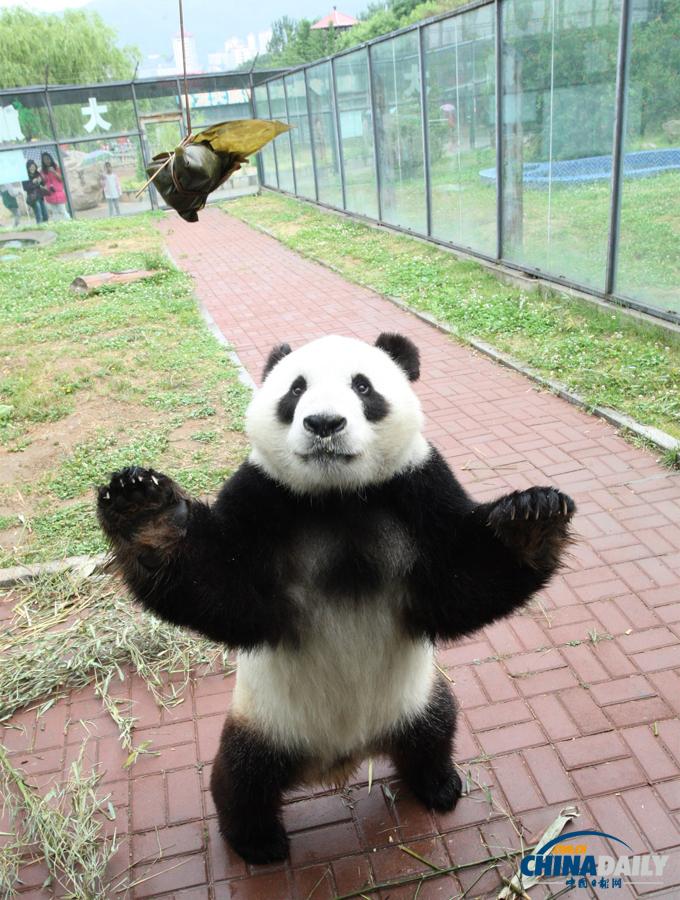 大熊猫 动物 680
