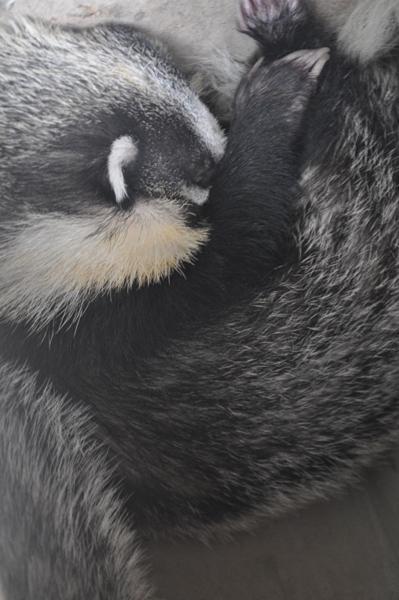 云南野生动物园拯救猪獾