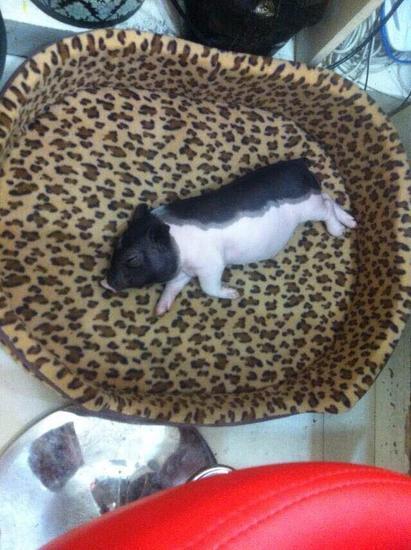 美女 香猪/姑娘买来小香猪3个月养成大肥猪