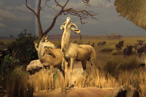 """""""非洲野生动物大迁徙展""""将在山东博物馆开展"""
