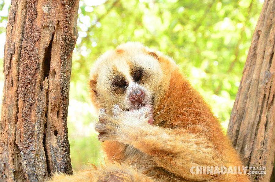普洱国家森林公园蜂猴