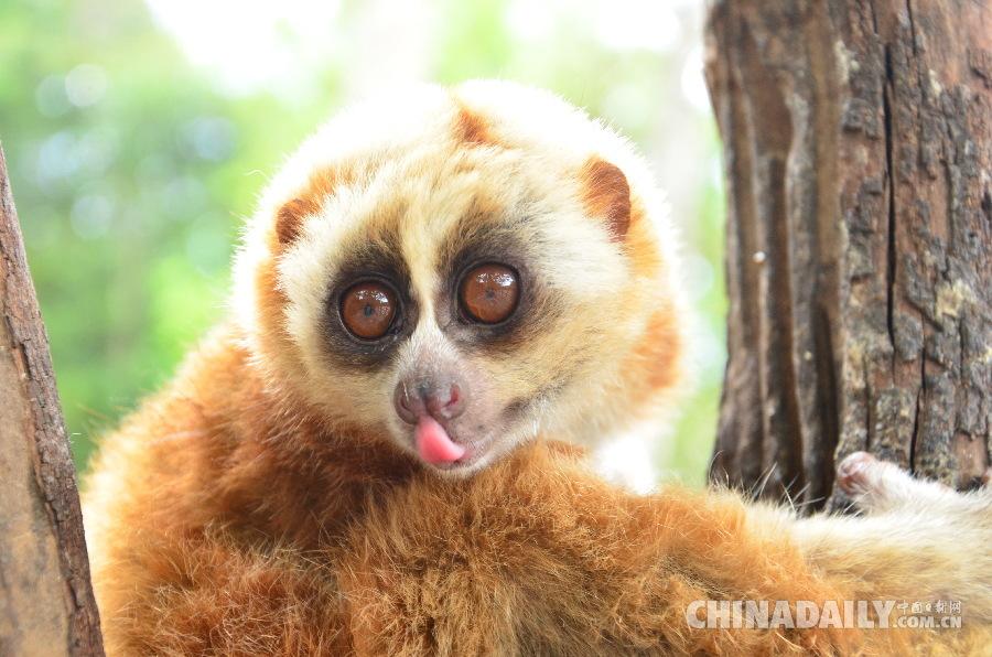 国家一级保护动物蜂猴白天枝头觅食萌值爆棚照