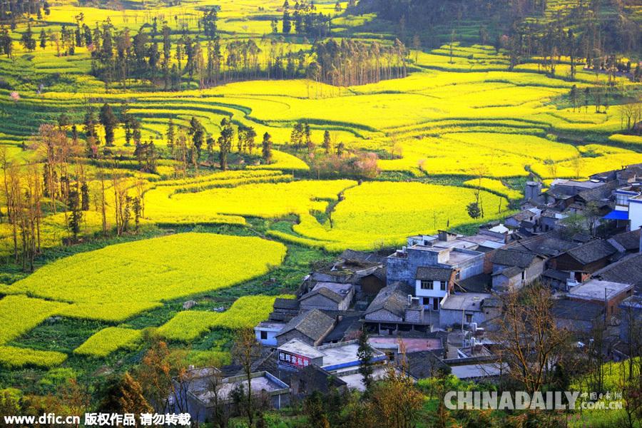 80万亩油菜花在云南罗平坝子竞相开放图片