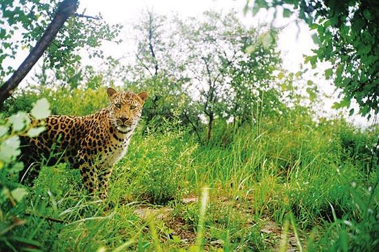 图为和顺境内出现过的金钱豹。 本报讯目前,可以确定在和顺县马坊乡、横岭镇一带活动的金钱豹有5只。4月15日,中国猫科动物保护联盟(简称中国猫盟)核心成员宋大昭介绍说,4月2日,我们拍摄了一大两小3只豹子,去年出生的两个小家伙,状态很好。当日,中国猫盟和顺县马坊乡金钱豹保护生态补偿专项资金及老豹子生态巡护队成立。 近年来,和顺致力于和顺生态名片的打造,在生态保护、生态修复、生态涵养上,每年投入都在数亿元以上,有效地提升了当地的生态环境。国家一级保护动物金钱豹、黑鹳,国家二级保护动物苍鹭、金雕、