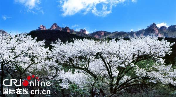 鞍山的千山风景名胜区内的梨花. 摄影 李永家