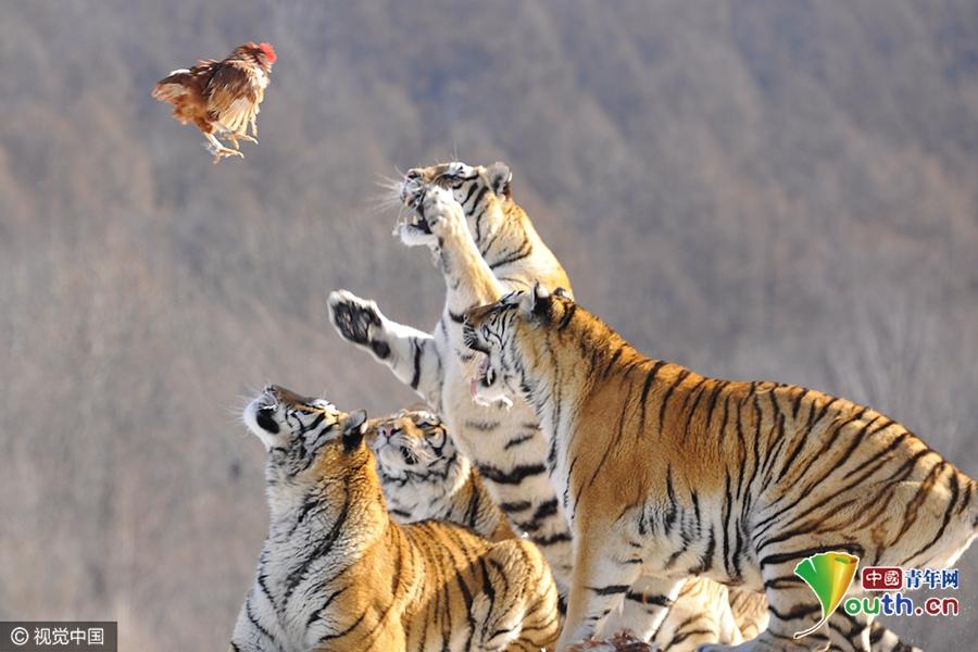 2017年01月31日,辽宁省沈阳市,虎,乃兽中之王,所有其它动物都可以是它的美味佳肴,包括人(除非武松)。提到虎,有人真是谈虎色变,特别是有过深入虎穴经历的人。老虎有它凶猛的一面,也有它温柔的另一面,这是我最近与老虎近距离接触领略到的: 大年初三,我与朋友自驾800多公里来到牡丹江中国虎乡东北虎繁殖基地,基地四周群山环绕,林木蓊郁,沟谷两岸水草丰美,地理环境和自然条件都很适宜东北虎栖息和繁殖,是全世界最大的东北虎饲养繁殖基地。2007年该虎园被国家授予中国虎乡之美称。 进入大门后,我们要乘坐拍摄