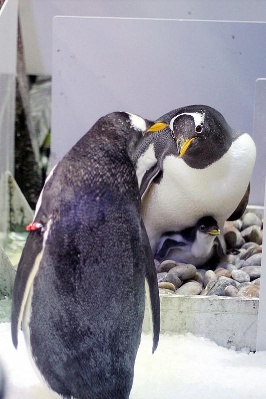 日前,大连圣亚海洋世界迎来一年一度的企鹅繁育季,经历了近一个月的孵化后,白眉企鹅宝宝相继破壳而出。刚出生的白眉企鹅宝宝身体呈浅灰色,浑身毛茸茸的,张着嫩黄小嘴嗷嗷待哺的样子甚是可爱。  白眉企鹅萌宝一家。 作为国家级南极企鹅种源基地,大连圣亚海洋世界在白眉企鹅人工繁育方面具有丰富经验。 公园内全景式南极企鹅社区南极企鹅岛,360度展示企鹅谈恋爱、抢婚房、偷石子、孵蛋等逗趣生活,方便游客近距离观赏企鹅萌宝和大家庭的风采。(中国日报大连记者站)